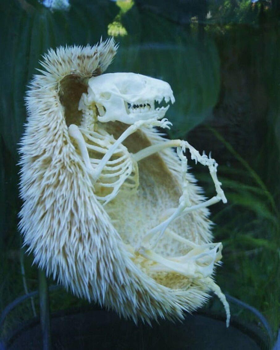 Jeżeli kiedykolwiek chciałeś wiedzieć, jak wygląda szkielet jeża...
