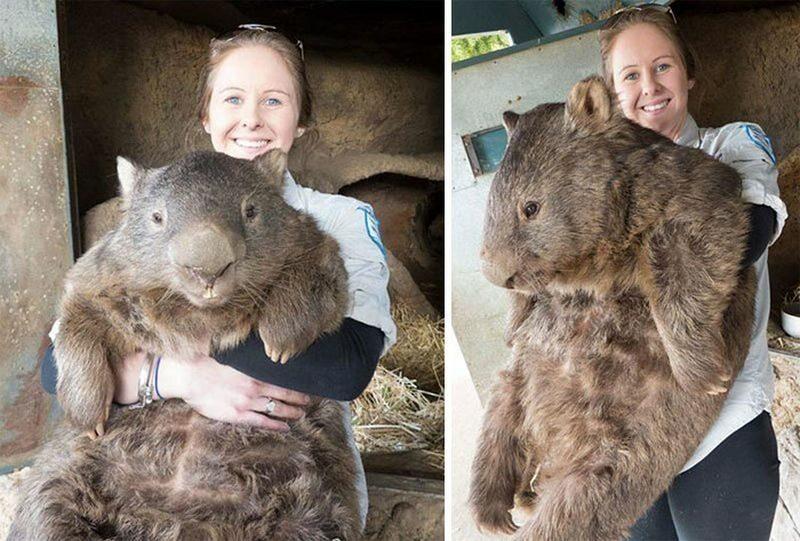 Dorosły wombat
