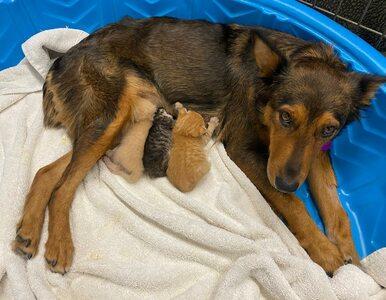 Suczka zaopiekowała się kociętami. Te myślą, że pies jest ich mamą
