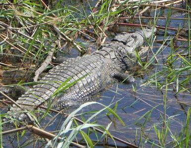 W zemście za śmierć czterdziestolatka wściekły tłum zabił trzysta krokodyli