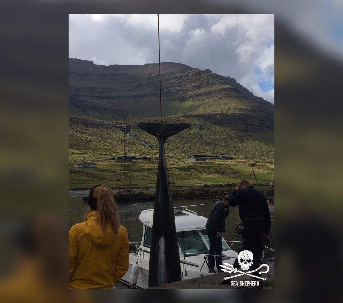Życie straciło około 80 grindwali i 13 delfinów