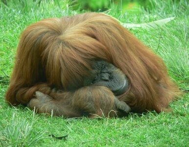 Indonezja: samica orangutana próbuje... rzucić palenie