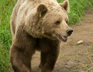Niedźwiedź zaatakował grzybiarza w Bieszczadach