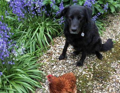 """Labrador znalazł sposób na samotność. """"Nigdy nie sądziłam, że zostaną..."""
