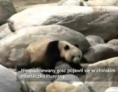 Ranna panda przywędrowała do chińskiego miasteczka