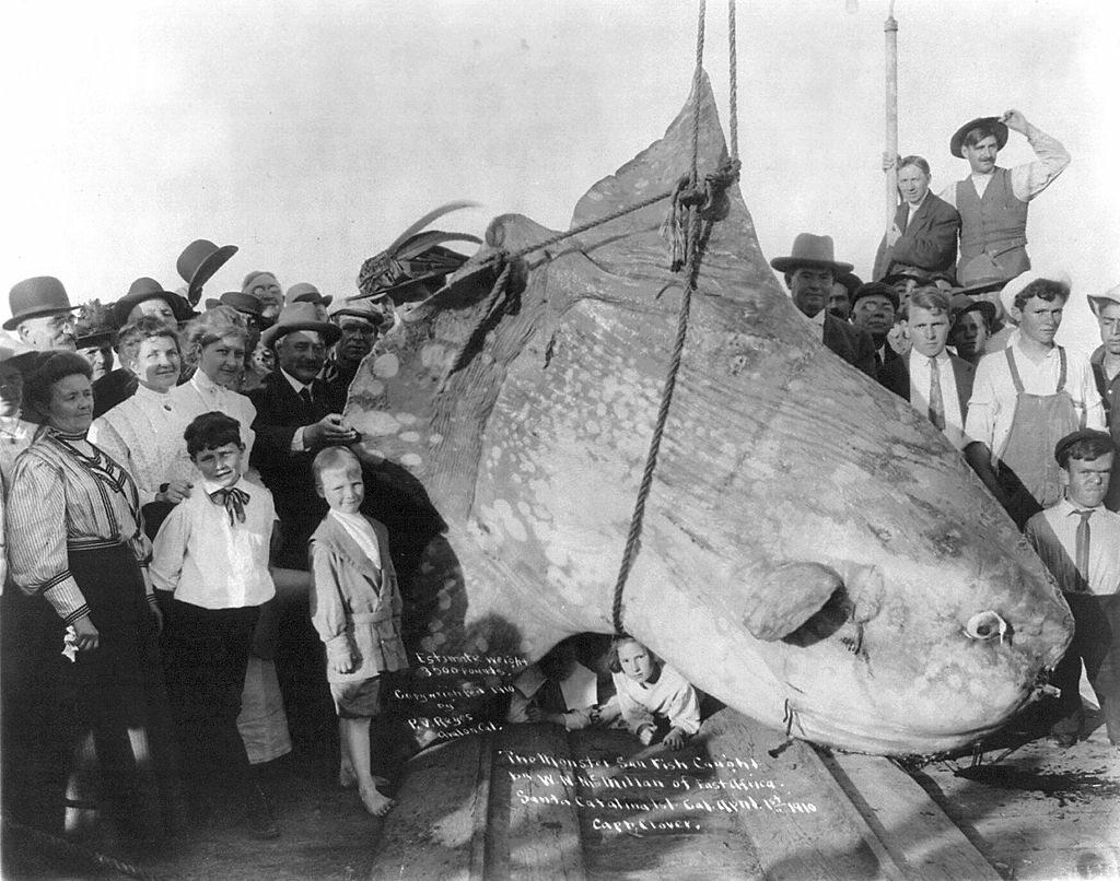 Ryba samogłów wyłowiona w 1920 roku u wybrzeży Kalifornii