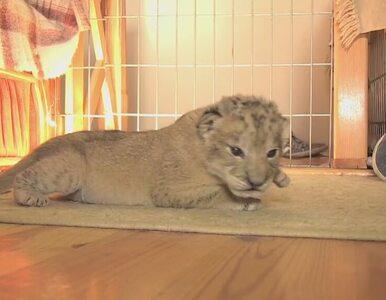 Porzucone lwiątko znalazło nową psią mamę w podlubelskim minizoo
