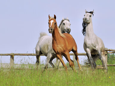 Koniec wieloletniej tradycji. Pokaz koni arabskich przeniesiony z Janowa...