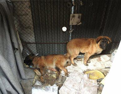 Wólka Kosowska: Skandaliczne warunki w chińskim barze. Zwłoki psa i...
