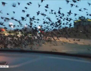 Ptaki opanowały parking. Niezwykłe nagranie z Teksasu
