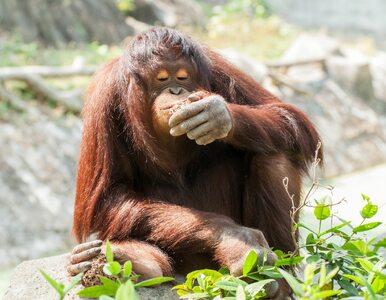 Orangutany powoli wymierają. Jedną z przyczyn...olej palmowy