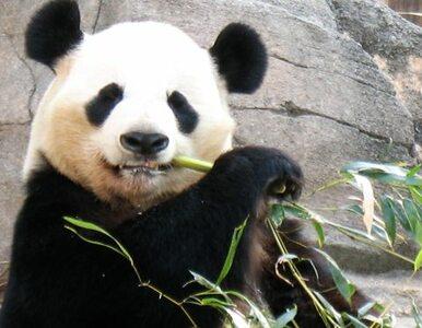 Japończycy świętują narodziny małej pandy