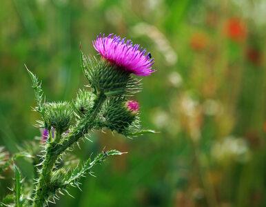 Nie tylko zdobi ogródek, ale także wspomaga nasze zdrowie. Co potrafi...