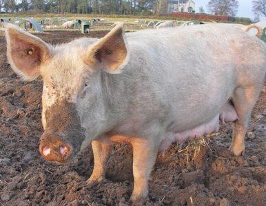 Polska sprzedaje 309 tysięcy ton wieprzowiny, by kupić... 574 tysiące...