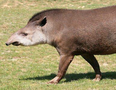 W tym parku żyją 300-kilogramowe tapiry