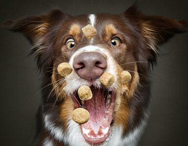 Te psy dla przysmaków zrobią wszystko. Fotograf pojawił się w idealnym...