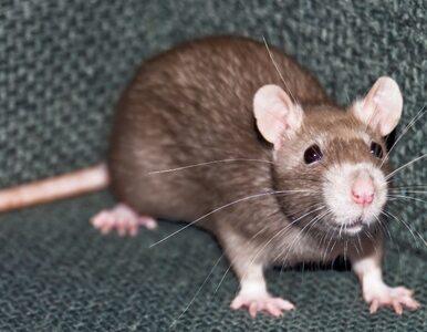 Wielkie szczury terroryzują Nowy York