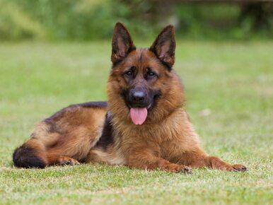 Psy pogryzły 9-latkę z Lipna. Własnym ciałem zasłoniła młodszego brata