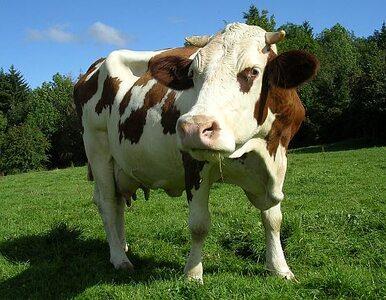 Rosja cofnie zakaz importu bydła z UE, jeśli...