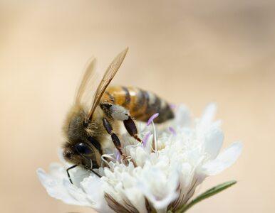 """Serwis pornograficzny rusza na ratunek pszczołom. """"Weź sprawy w swoje ręce"""""""