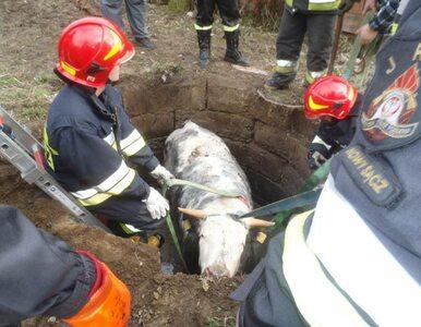 Strażacy uratowali krowę z pułapki. Zdjęcia z akcji ratunkowej robią...