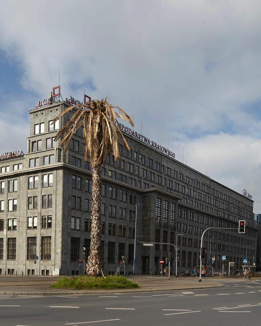 Uschnięta palma na rondzie de Gaulle'a